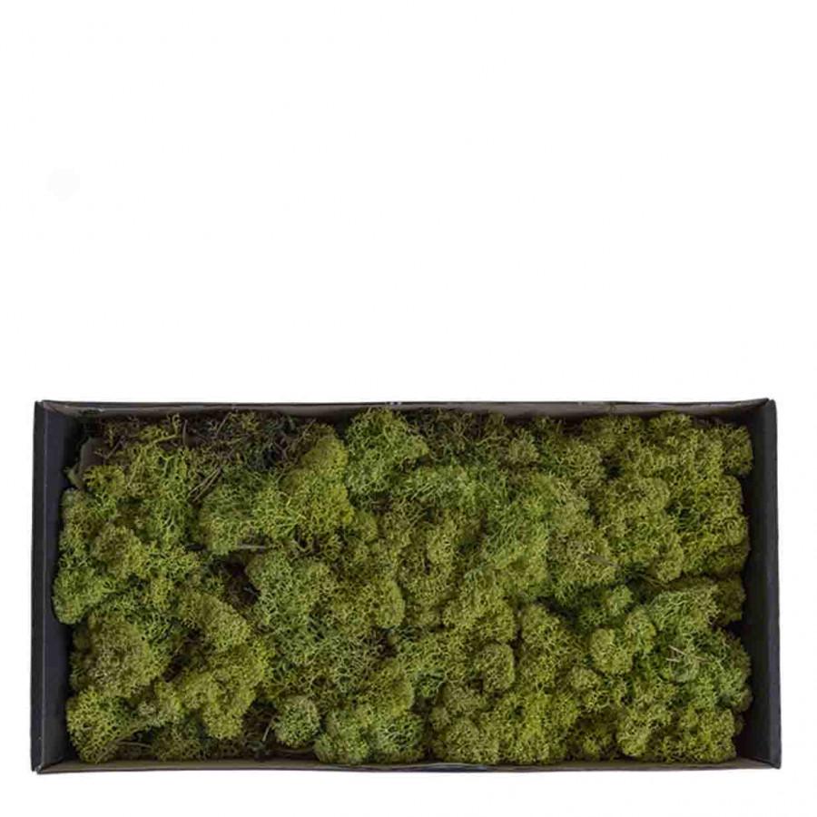 Confezione licheni nordici verde 500 gr